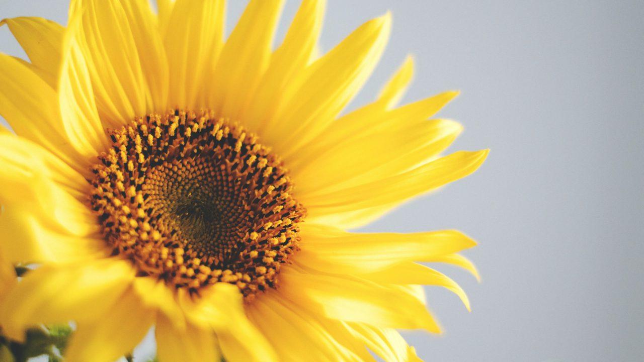 ひまわり 花 黄色