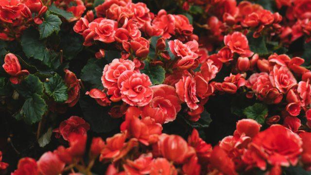 赤 バラ 花